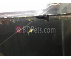 Black Moscow guppy pair for sale