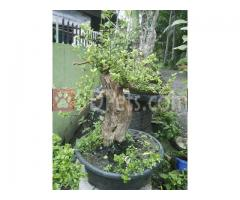 Bonsai for sale..Large Abgao