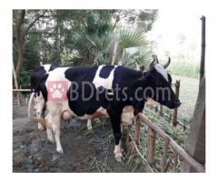 Frezien cow Argent sale