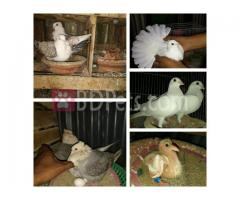 Master 3pair adults for sell,Sathing,chandan,white Homa