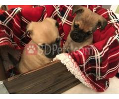 Pug Puppies For Re-homing!!