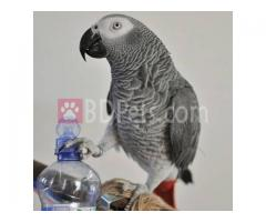 Adorable Parrots Of All Breeds For Sale At Cheap Price. Macaw blue and gold