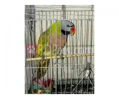 Red breasted parakeet