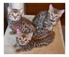 Bengal kittens 13 weeks