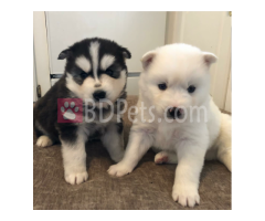 Reg. CKC Siberian Husky Puppies