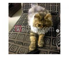 American Longhair Adult Cat For Sale