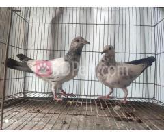 jira patti pigeon