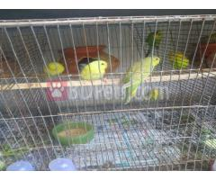 Sell these budgie birds