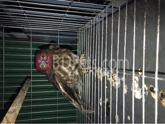 Brown hawk owl. ????