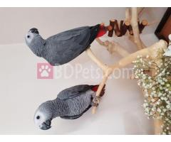 Macaw and African grey Parrots and parrot egg for Sale