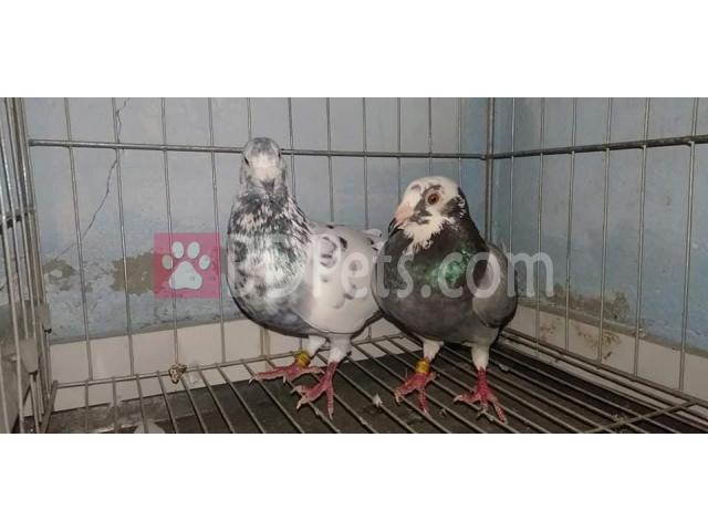Racer pigeon (master pare)