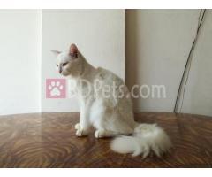 Persian female cat