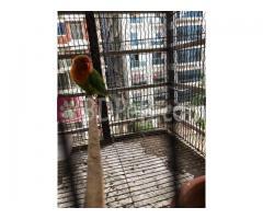 Love birds (Green fischer)/ Female