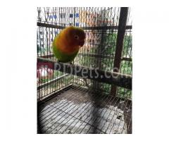 Love bird (Green fischer) / Female
