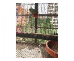 Love bird (Green fischer) / Female