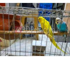 Budgerigar & Love Bird