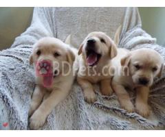 purebred labrador retriever puppies for sale