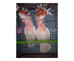 Major Mitchell cockatoo Parrots for sale whatsapp +237699461444