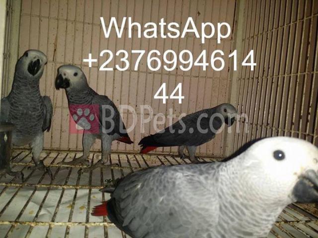 African grey parrot birds Psittacus erithacus for sale whats-app +18603852496