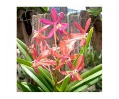 Neofinetia Falcata Pink