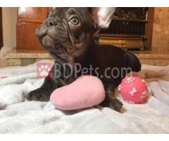 Stunning Chunky French Bulldog Pups.