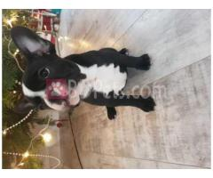 Two Girl's Left Kc French Bulldog Puppies.