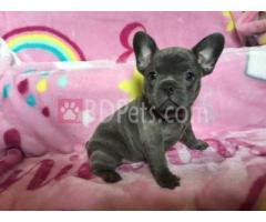 Beautiful Frech Bulldog Female