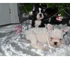 Beautiful Blue French Bulldog Puppies- For Sale!!!