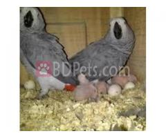 we sell very fertile candle lit eggs of all species of parrots