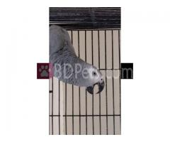 talking parrots for sale whatsapp 00237699461444