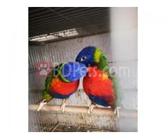 RAINBOW LORIKEET FULL ADUL PAIR