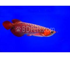 Healthy Arowana And Fresh Water Stingray Fishes For Sale!