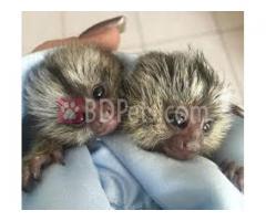 Capuchin and Marmoset monkeys available for adoption
