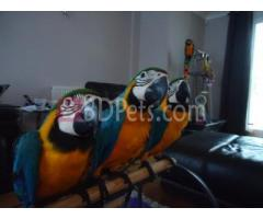 macaw parrots and african grey parrots for  adoption