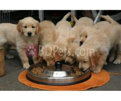 Lovely golden Retriever  puppies for  adoption