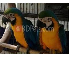 cute macaw and  african grey parrots
