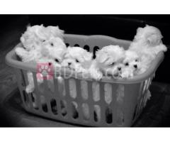 Charming teacup maltese puppies for adoption