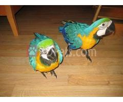 Gloden Pair Marcaw Parrots And Eggs