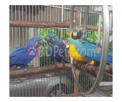 Blue & Gold Macaw Parrots Whatss App +91 91352 87968