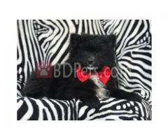Sweetest Teacup Pomeranian Puppies Available for sale